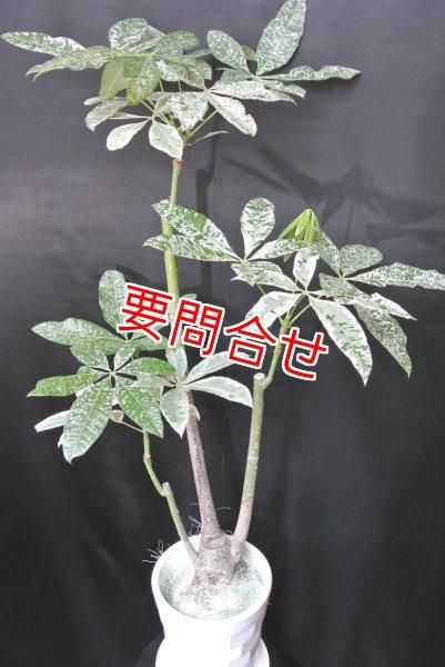 画像1: 観葉植物 斑入りパキラ (1)