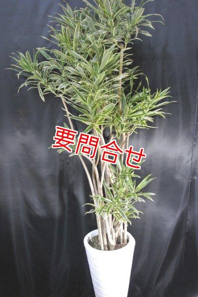 画像1: 観葉植物 ソングオブインディオ (1)