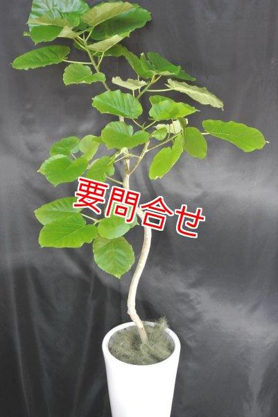 画像1: 観葉植物 ウンベラータ 曲げ (1)