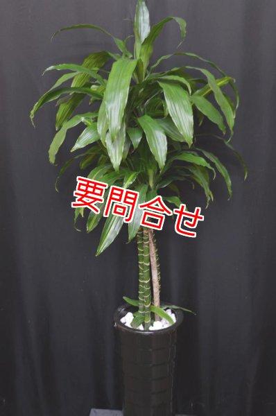 画像1: 観葉植物 【ワーネッキー 140cm】 (1)