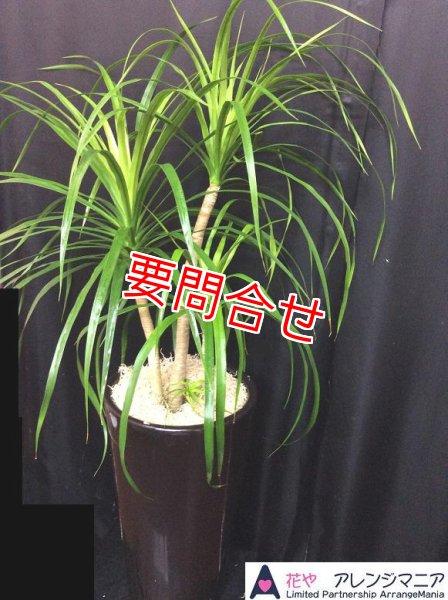 画像1: 観葉植物 【カンボジアーナ 130cm】 (1)